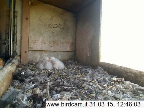 Birdcam.it. Nato il terzo pullo di Vergine ed Alex