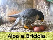 Aloa e Briciola