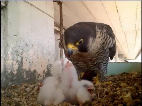Birdcam.it. Nati tre pulli di Aria e Vento!