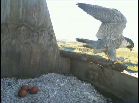 Birdcam.it. Alice e Virgilio covano tre uova