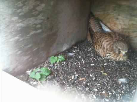 Birdcam.it. Online il nido dei gheppi Elettra e Crono