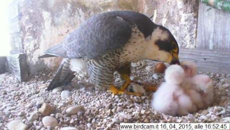 Birdcam.it. Schiuse tutte le uova di Aloa e Briciola