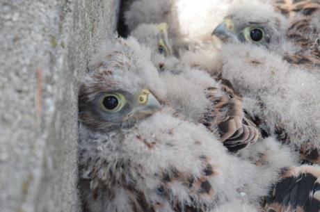 Birdcam.it. Inanellati i pulli di Elettra e Crono