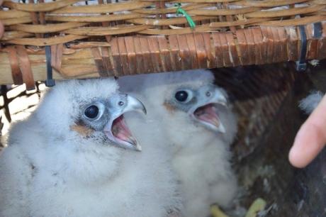 Birdcam.it. Inanellati i pulli di Alice e Virgilio