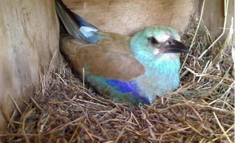 Birdcam.it. Online le ghiandaie marine!