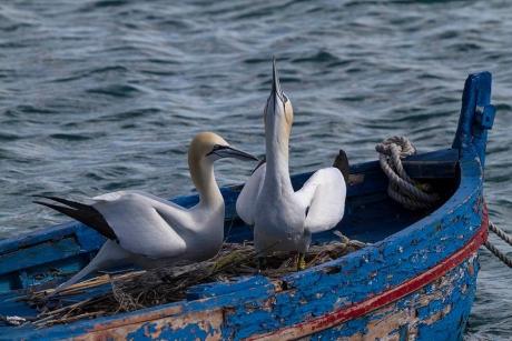 Birdcam.it. Nuova cam su un nido di sule a Portovenere