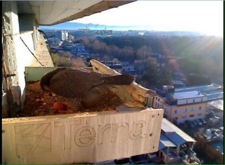 Birdcam.it. Primo uovo di Aria e Vento!