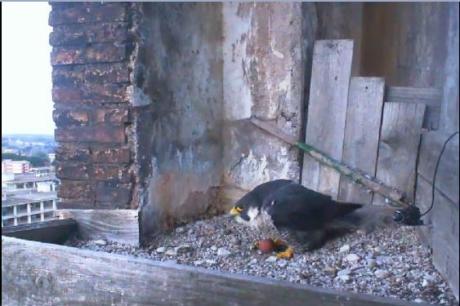Birdcam.it. Primo uovo di Aloa e Briciola!