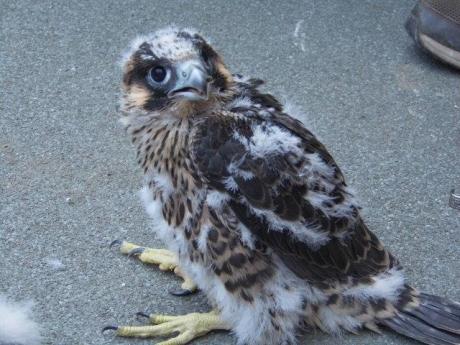 Birdcam.it Inanellati i pulli di Aloa e Briciola