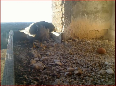 Primo uovo al nido di Aloa e Briciola