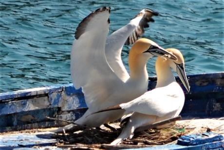 Online il nido di Roz e Nelson, le sule di Porto Venere