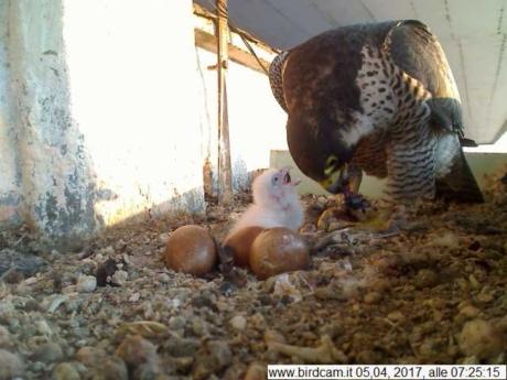 Birdcam.it. Stanno nascendo i piccoli falchi pellegrini