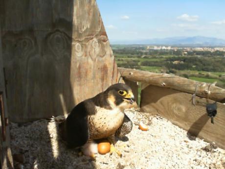 E' nato il primo falchetto della stagione 2018 di Birdcam.it