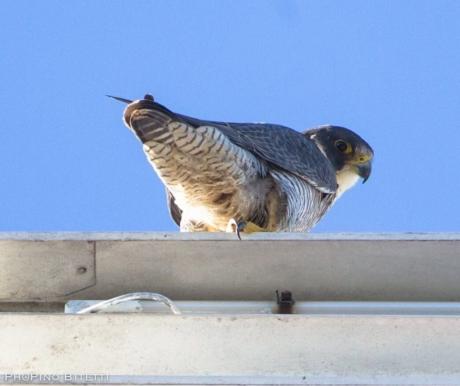 Ale e Alì, la nuova coppia di falchi seguiti da Birdcam.it