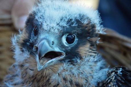 Il primo anno di vita di un giovane falco